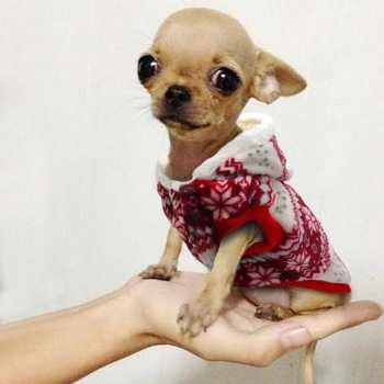 Chihuahua Clothes Xs