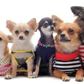 Chihuahua Clothing