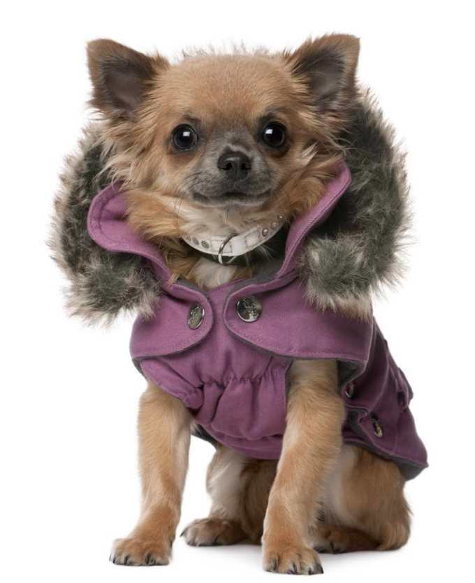 Chihuahua Coats