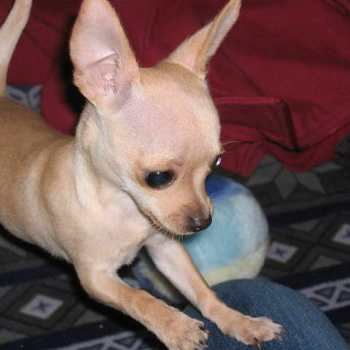Chihuahua Constipation Symptoms