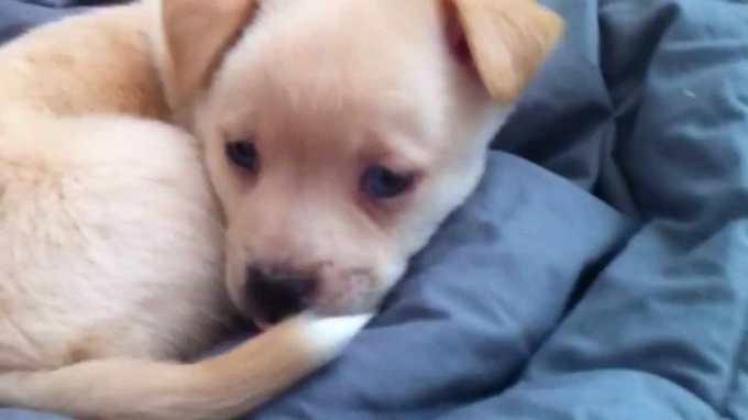 Chihuahua Corgi Mix Adoption