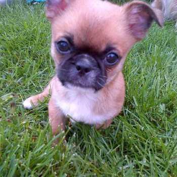 Chihuahua Cross Pekingese Puppies For Sale