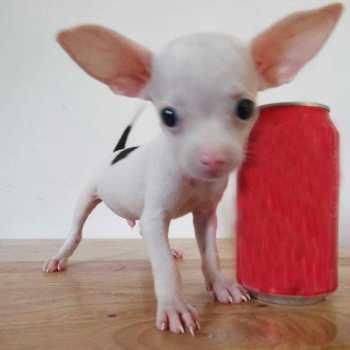Chihuahua De Bolsillo En Venta