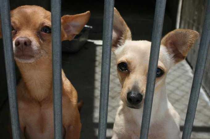 Chihuahua Dog For Adoption