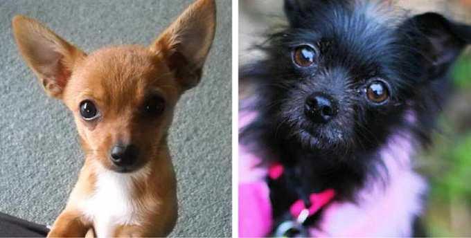 Chihuahua Dog Mix
