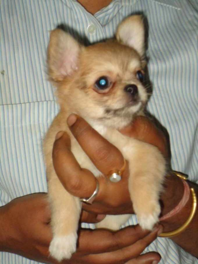 Chihuahua Dogs Price
