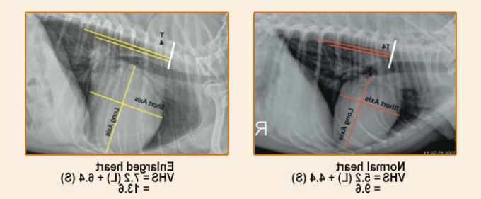 Chihuahua Enlarged Heart