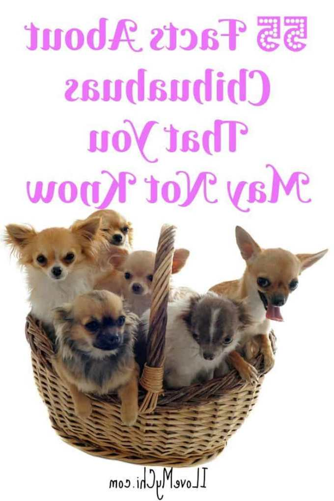 Chihuahua Facts For Kids