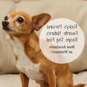 Chihuahua Favorite Food