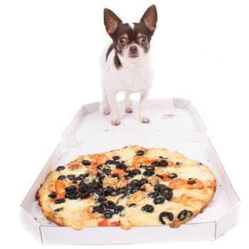 Chihuahua Food Diet