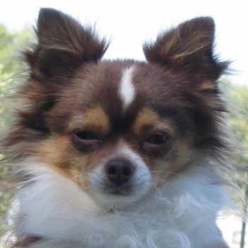 Chihuahua For Adoption