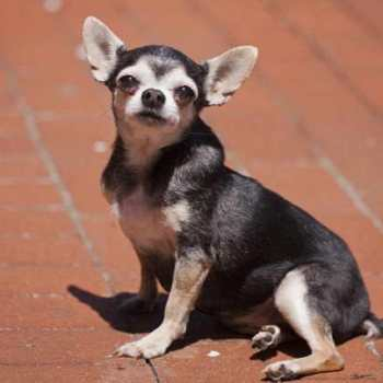 Chihuahua For Asthma