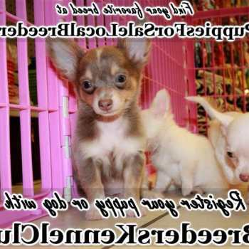 Chihuahua For Sale Georgia