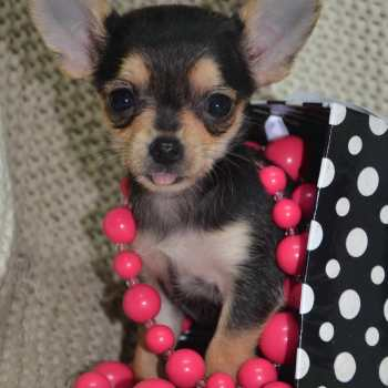 Chihuahua For Sale In Alabama