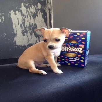 Chihuahua For Sale In Colorado