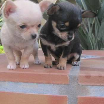 Chihuahua For Sale In Ma