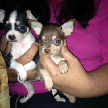 Chihuahua For Sale In Memphis Tn