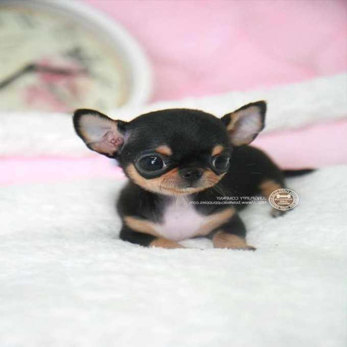Chihuahua For Sale In Michigan