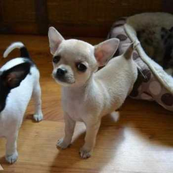 Chihuahua For Sale In Minnesota