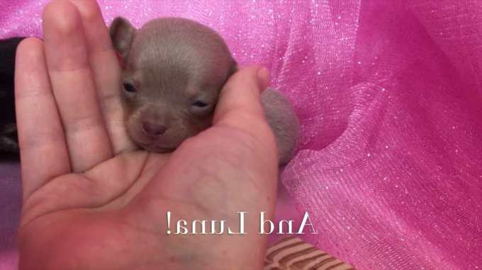 Chihuahua For Sale In North Carolina