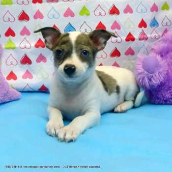 Chihuahua For Sale In Oregon