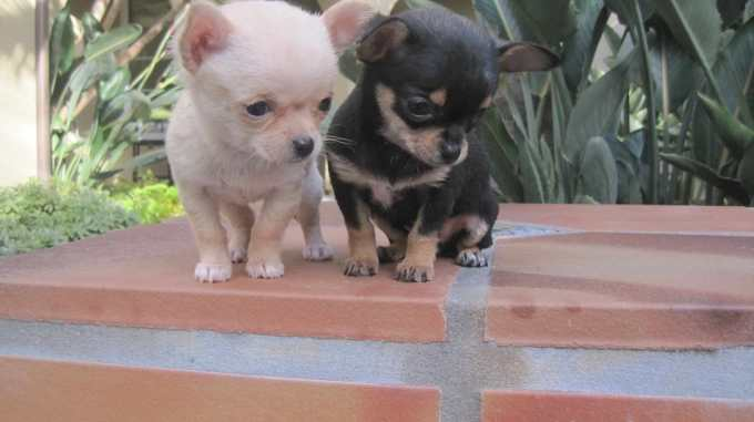 Chihuahua For Sale In Tn