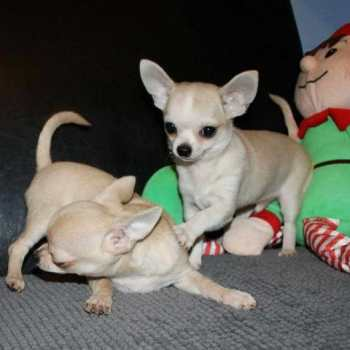 Chihuahua For Sale Kansas City