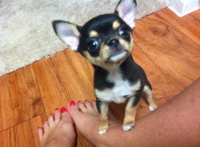 Chihuahua For Sale Texas