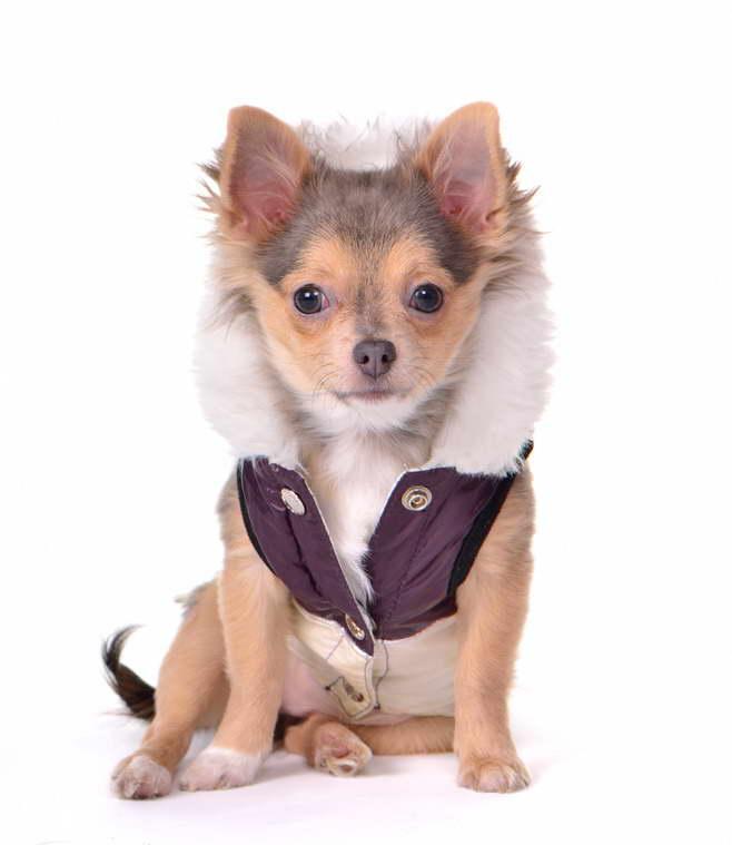 Chihuahua Fur Coat