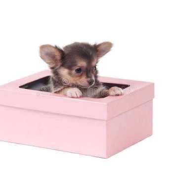 Chihuahua Gift