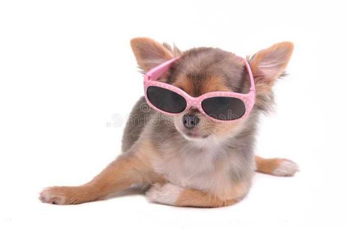 Chihuahua Glasses