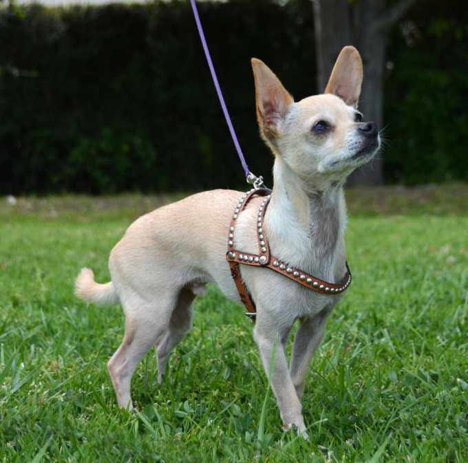 Chihuahua Harnesses