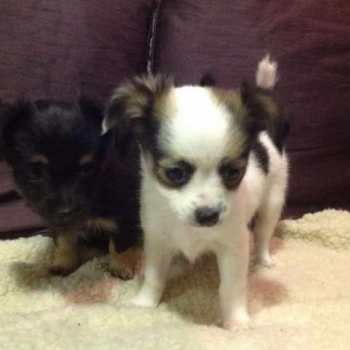 Chihuahua Jack Russell Puppies For Sale