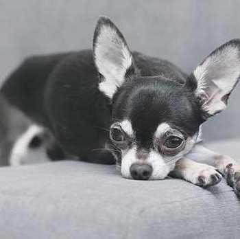 Chihuahua Knee Problems