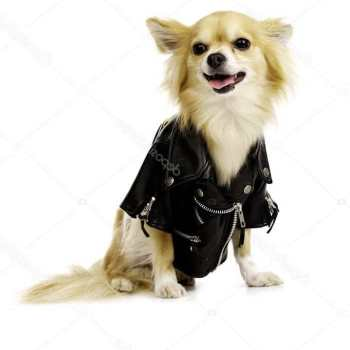 Chihuahua Leather Jacket