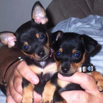 Chihuahua Min Pin Mix Puppies For Sale