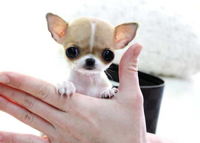 Chihuahua Mini Toys