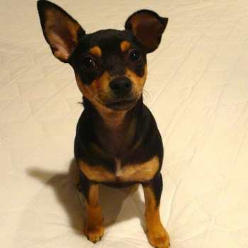 Chihuahua Miniature Pinscher Mix For Sale