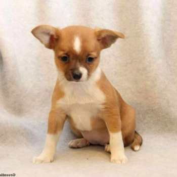 Chihuahua Mix Puppies For Sale In Pa