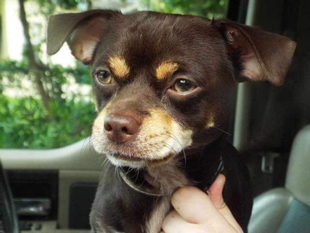 Chihuahua Mix Rescue