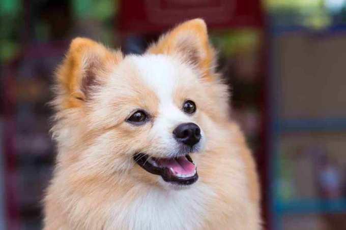 Chihuahua Mix With Pomeranian