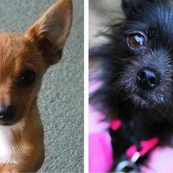Chihuahua Mixed Dog Breeds