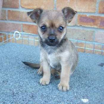 Chihuahua Mixed With Yorkie For Sale