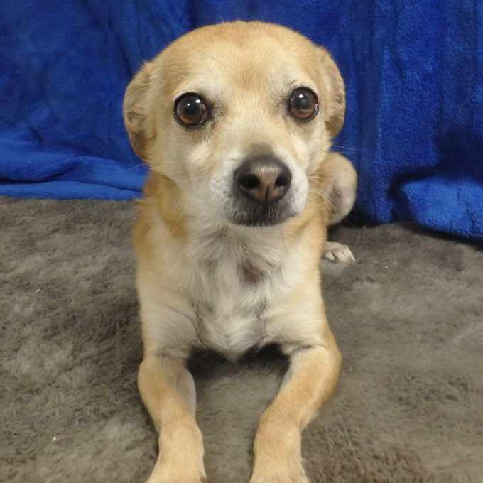 Chihuahua Needs