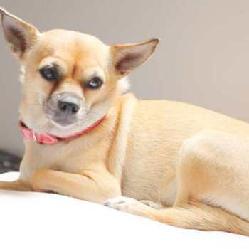Chihuahua Pain Relief