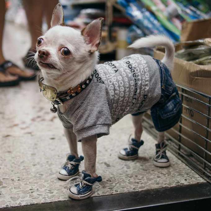 Chihuahua Pants