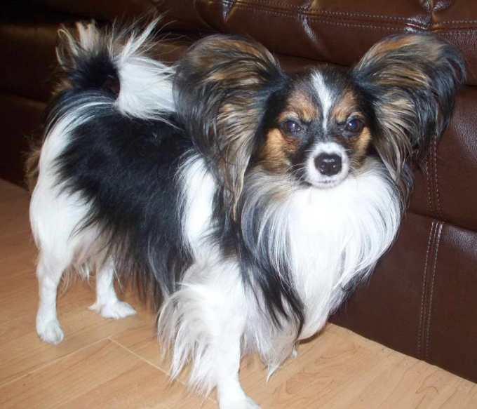 Chihuahua Pappion