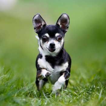 Chihuahua Personalities