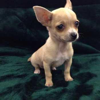 Chihuahua Pet Store