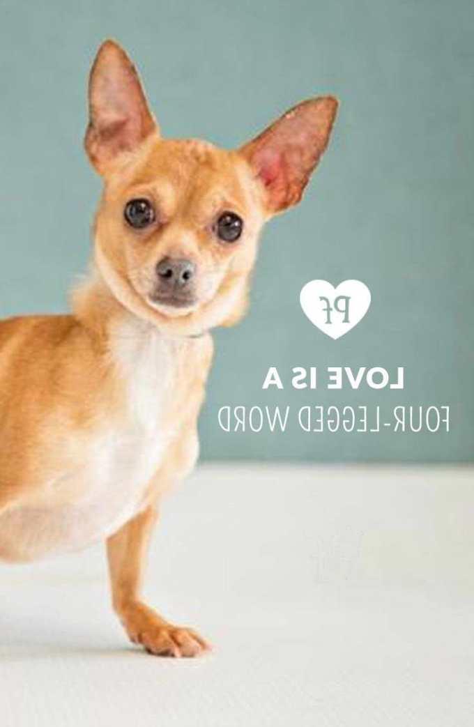 Chihuahua Petfinder